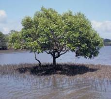 The genome of a Salt-secreting Mangrove Species Decoded by DBT-ILS